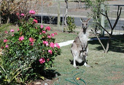 The banana thief: an Eastern Grey kangaroo.